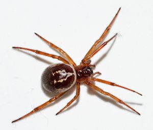 giftigkeit von spinnentieren wiki der arachnologischen gesellschaft e v. Black Bedroom Furniture Sets. Home Design Ideas