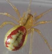 Bestimmung Nach Färbung Wiki Der Arachnologischen Gesellschaft E V