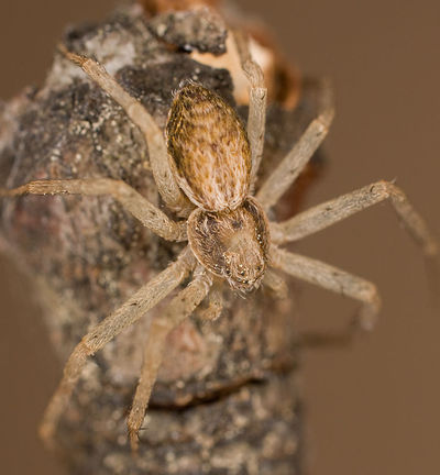 Philodromus dispar W 8-02696.jpg