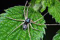Philodromus dispar m.JPG
