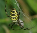 Argiope bruennichi female PC0098.JPG