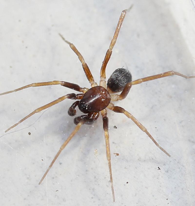 Spinnen Im Garten: Datei:Zodarion Italicum M 2mm Do Laubstreu Garten München