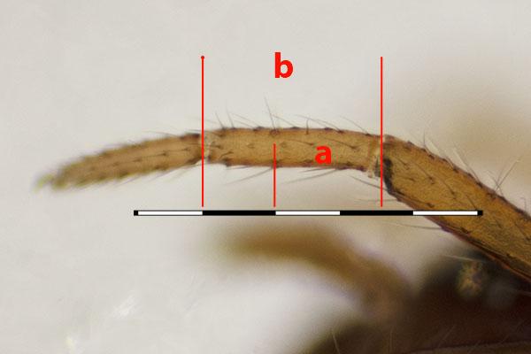 Anatomie von Spinnen – Wiki der Arachnologischen Gesellschaft e. V.