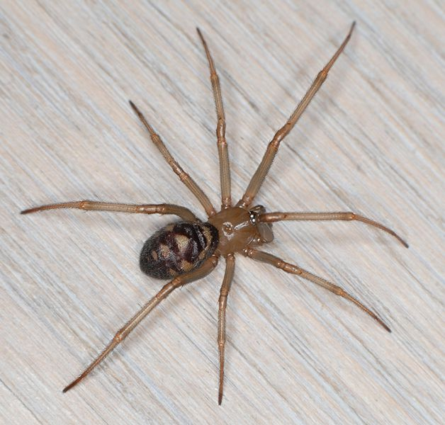 Datei:Steatoda grossa w do CWieczorrek.jpg
