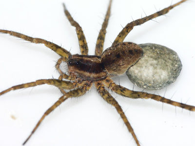 Pardosa agrestis f.jpg