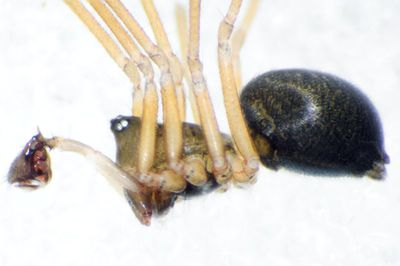 Scotinotylus alpigena m lateral.jpg
