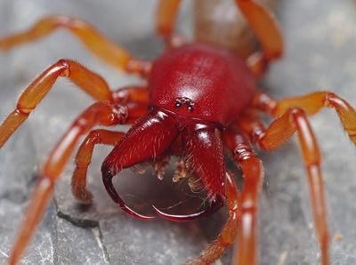 Rote Spinne Deutschland