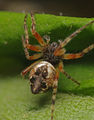 Cyclosa conica female A5868 PK6843.JPG