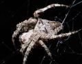 Araneus angulatus female PF0839.JPG