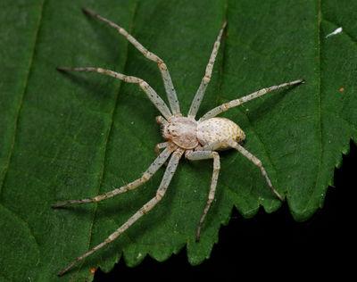 Weiße Spinnen Deutschland
