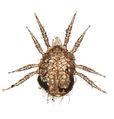 mesostigmata � wiki der arachnologischen gesellschaft e v