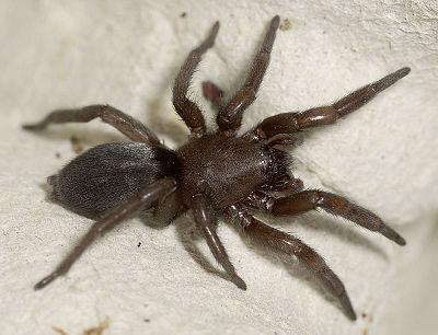 arachnida wiki der arachnologischen gesellschaft e v. Black Bedroom Furniture Sets. Home Design Ideas